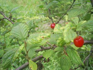 800px-Berries_and_leaves_of_Prunus_Cerasus_tomentosa